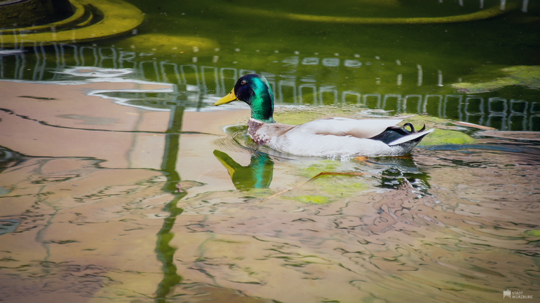 Schwimmende Stockente im Teich